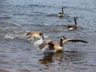 Birds at Kalers Pond