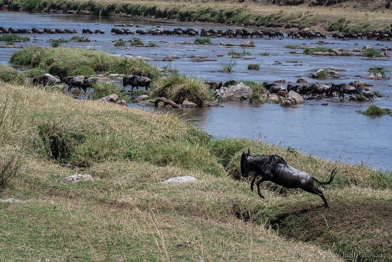 Tanzania Wildebeest crossing Mara River-0138.jpg