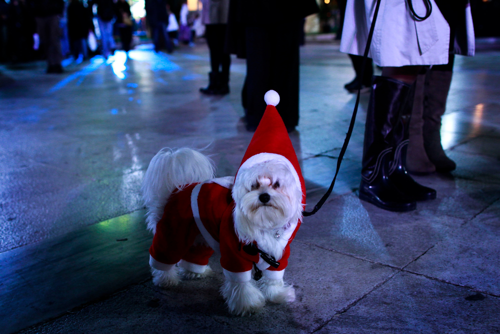 Description of . A dog is dressed up in a Santa Claus costume during the inauguration of Christmas celebrations in Athens' main Syntagma Square, on Tuesday, Dec. 11, 2012. Instead of the customary tree, this year the crisis-ravaged Greek capital will sport an assortment of smaller concept trees arranged on a scaffold. (AP Photo/Petros Giannakouris)
