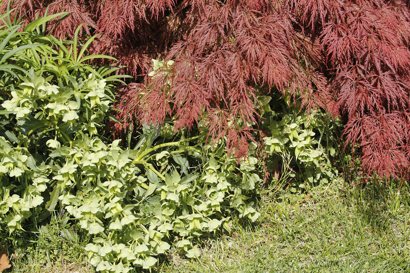 Lenten Roses and Japanese Maple