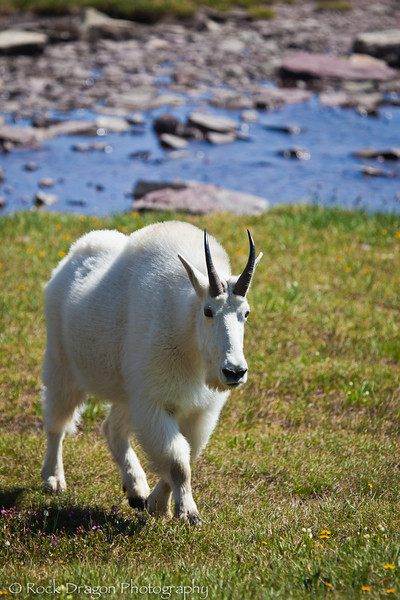 A Mountain Goat in Glacier National Park Montana.