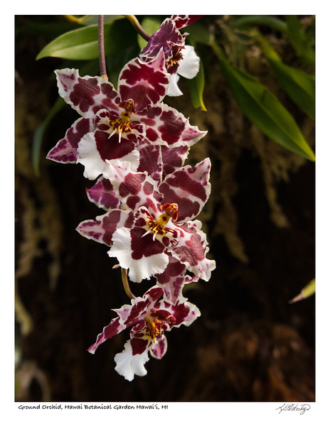 180213_MG_2018 Ground Orchid.jpg