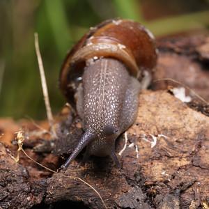 Land Gastropods