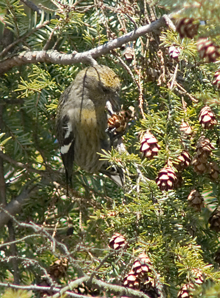 White-winged Crossbill  Female tearing open a cone