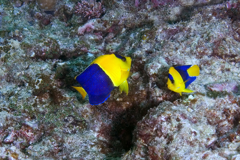 Bicolor Angelfish.jpg