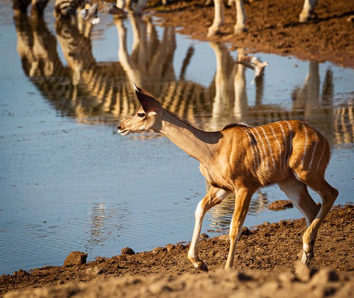 Kudu calf alarm 2