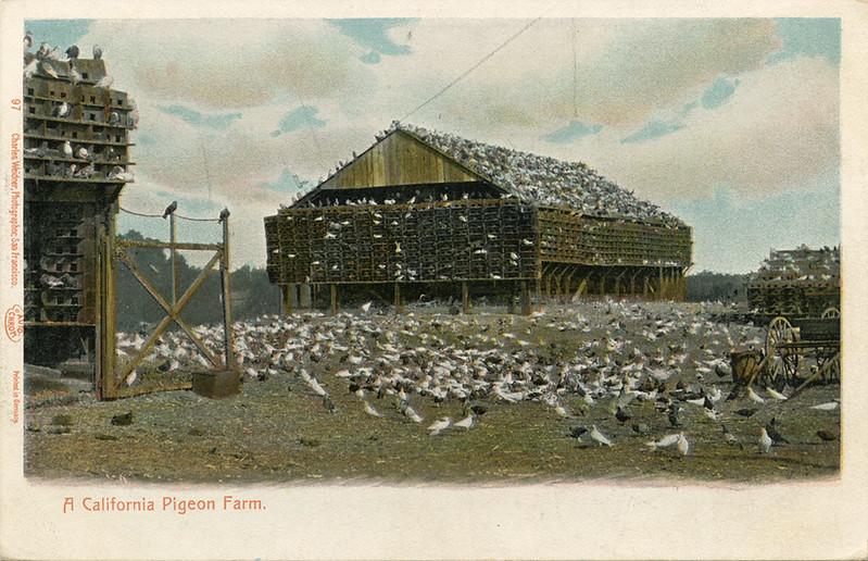 A_California_Pigeon_Farm_97.jpg