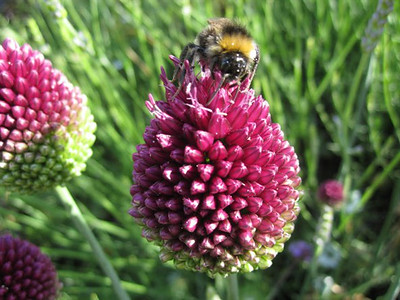 Allium sphaerocephalon.jpg