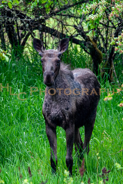 05/24/19 Bull Moose in Cataldo, Idaho