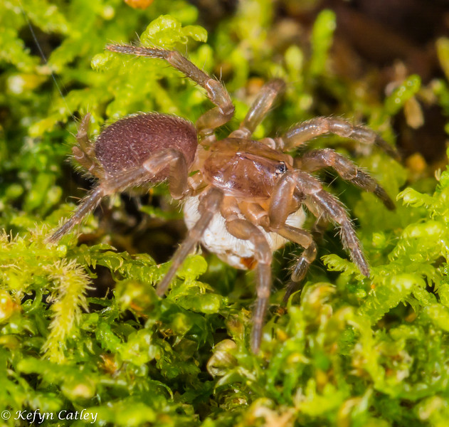 ARANEAE: Dipluridae: Microhexura montivaga, spruce fir moss spider