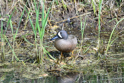 16-05-13 Blue-Winged Teal
