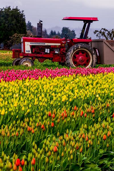 Tulips with cloudy sky-6.jpg