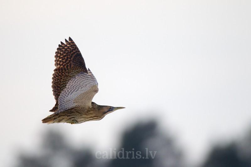 Eurasian bittern in flight above trees