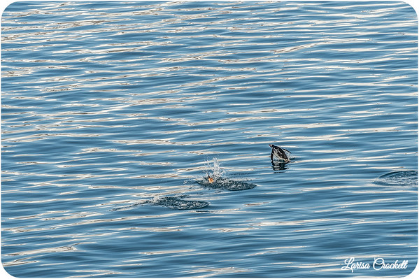 Flying in Water/ Penguins