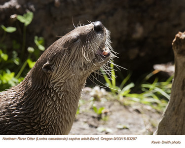 Northern River Otter A83297c.jpg