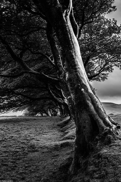The Shelter Belt - Prewley Moor