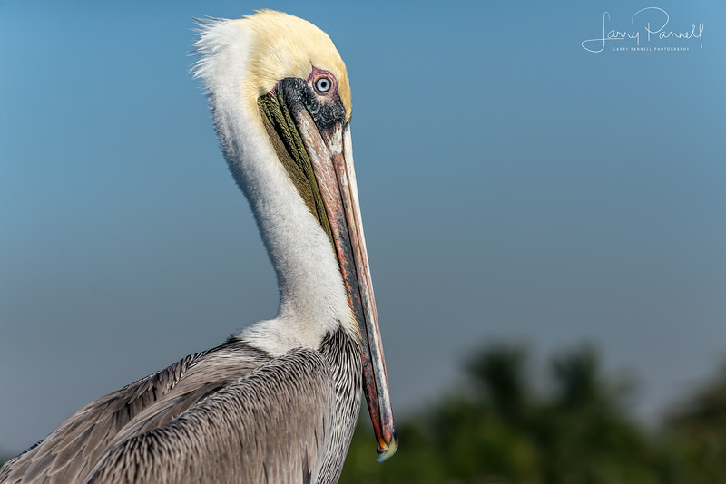 Brown Pelican - Mazatlan