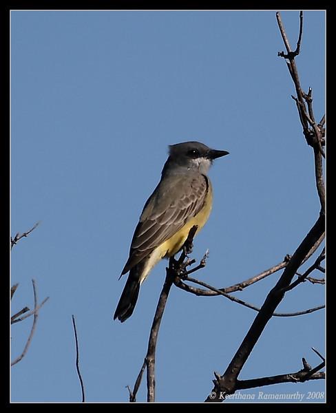 Cassin's Kingbird, Lake Hodges, San Diego County, California, November 2008