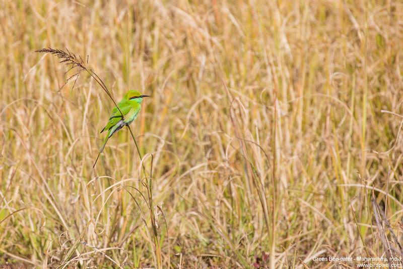 Green Bee-eater - Maharashtra, India