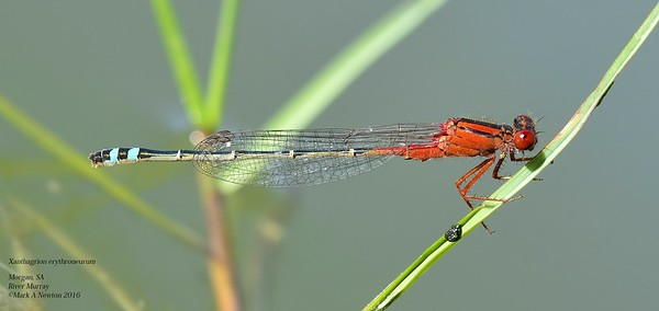 Xanthagrion erythroneurum  (Red and Blue Damsel)