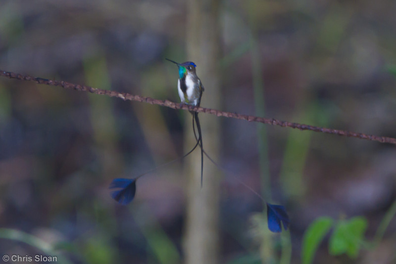 Marvelous Spatuletail male at Guembo Station, Amazonas, Peru (06-29-2010) 039