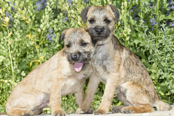 Border Terrier_PAW