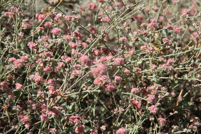 Ashyleaf Buckwheat, Eriogonum cinereum. I love the color of this plant.