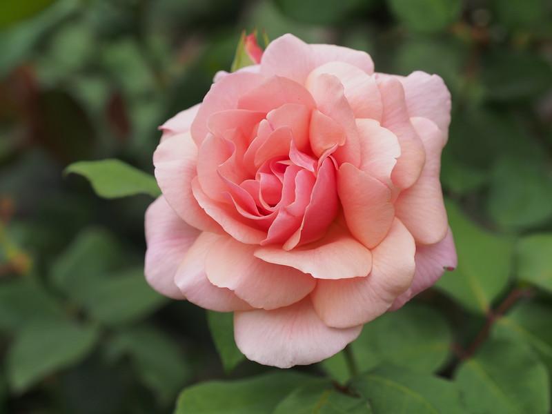 20150303_0915_1182 rose