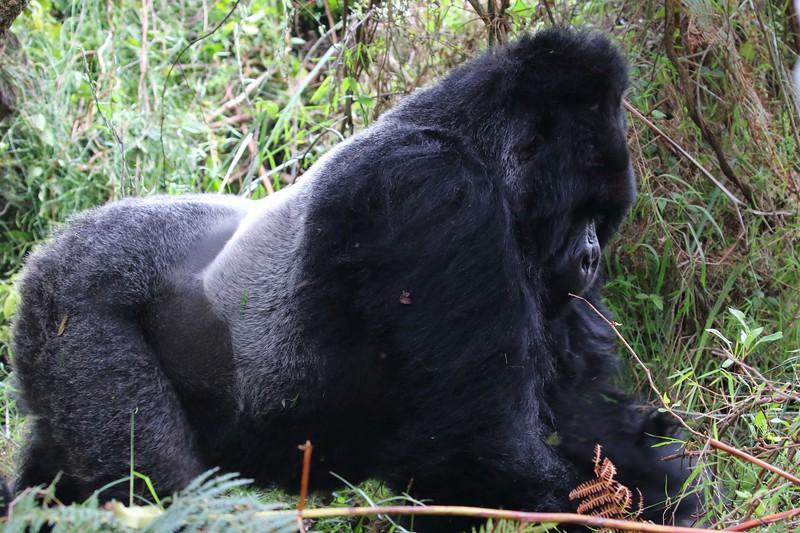 Gorilla0040.jpg
