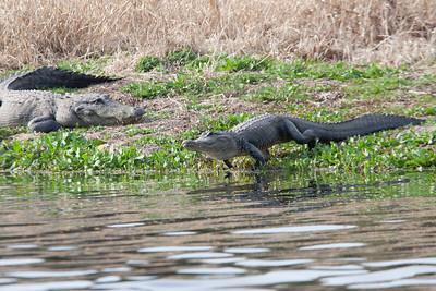 untitled20110202_Alligator MyakkaLakeFL_7I2B4378_11-02-02