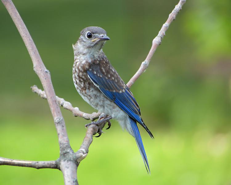 sx30_bluebird_fledgling_108.jpg