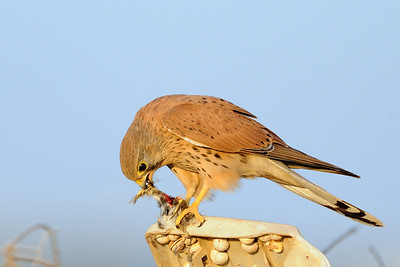 Kestrel & Prey