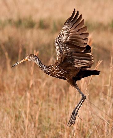 Limpkins, Cranes & Wood Storks