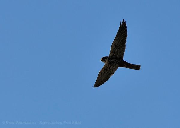 Boomvalk; Falco subbuteo; Baumfalke; Hobby; Faucon hobereau