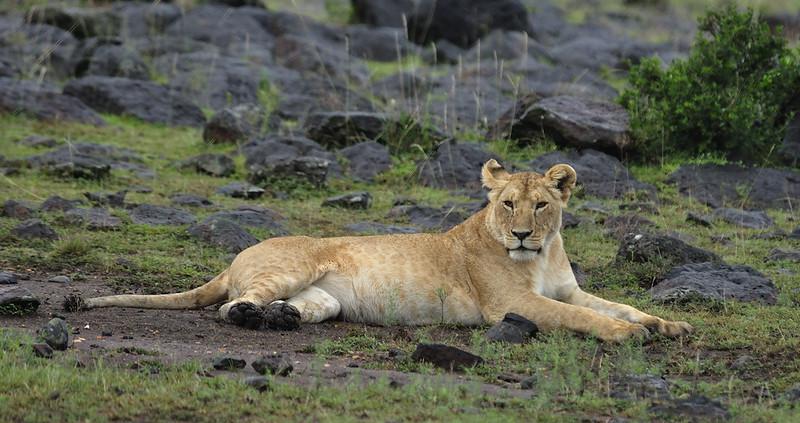 Lion-0098.jpg