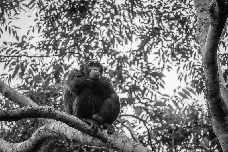 Uganda_T_Chimps-1003.jpg