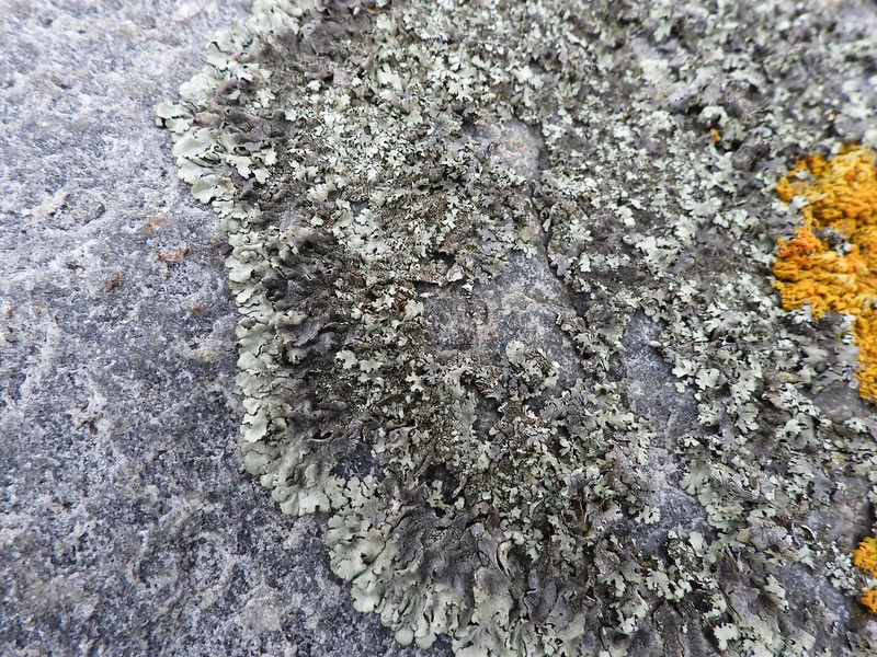 Lichen sp (not orange)