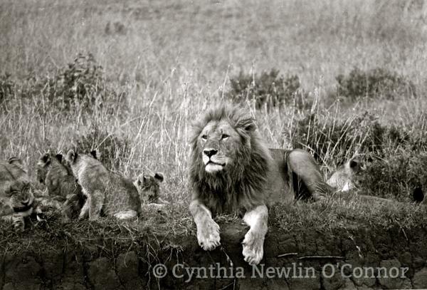 lion africa.jpg