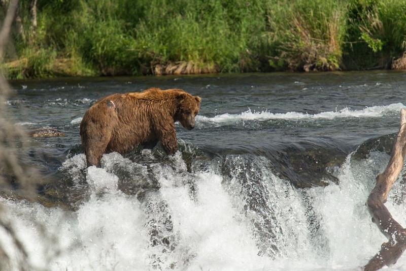 Katmai Bears-146.jpg