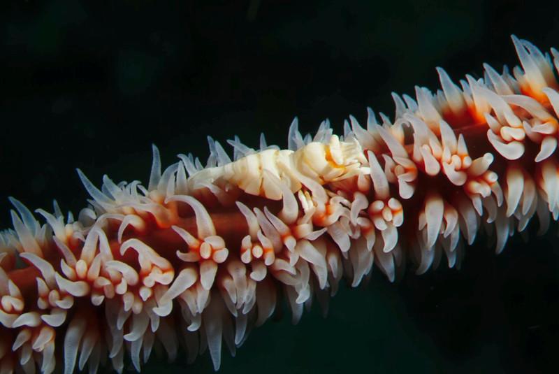 shrimp whip coral.jpg