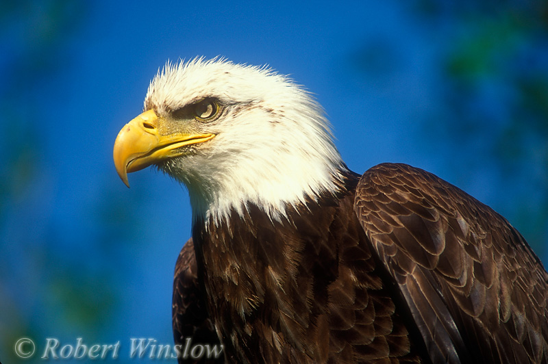 Male Bald Eagle (Haliaeetus leucocephalus), Controlled Conditions