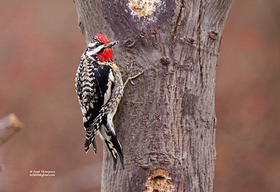 DOWNY & HAIRY WOODPECKERS & YELLOW BELLIED SAPSUCKERS