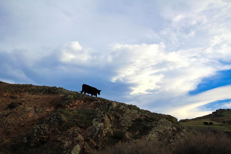 cows2 (1 of 1).jpg