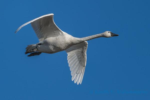 Swans over Fir Island