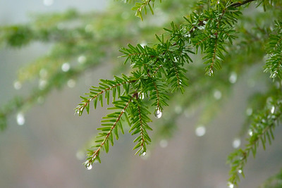 DAY 21 - January 21, 2011 - Hemlock in the Rain Cynthia Meyer, Tenakee Springs, Alaska