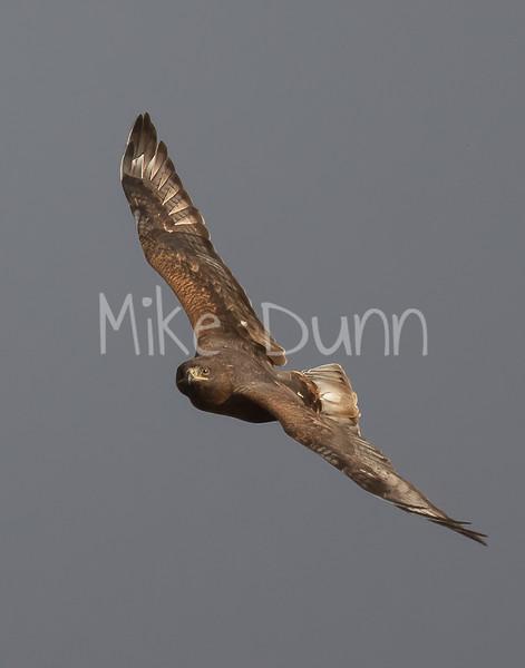Ferruginous Hawk-189