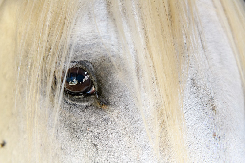 Eye See You - Camargue Stallion