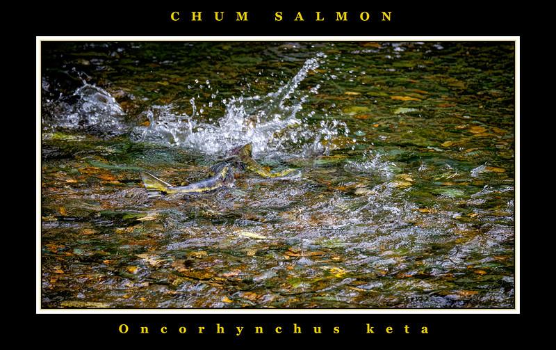 Chum Salmon_bordered_BL8E6935.jpg