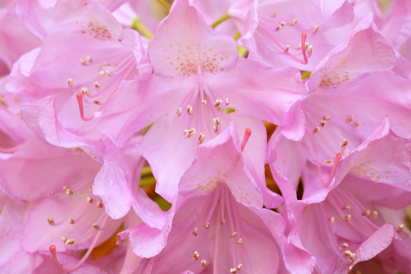 May 31_Pink Rhododendron_4014.jpg