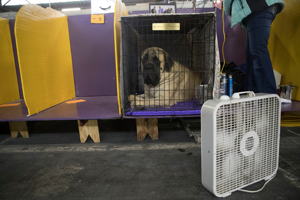 . Cash, an bullmastiff, is cooled down by a fan in while waiting to compete in the benching area during the 141st Westminster Kennel Club Dog Show, Tuesday, Feb. 14, 2017, in New York. (AP Photo/Mary Altaffer)